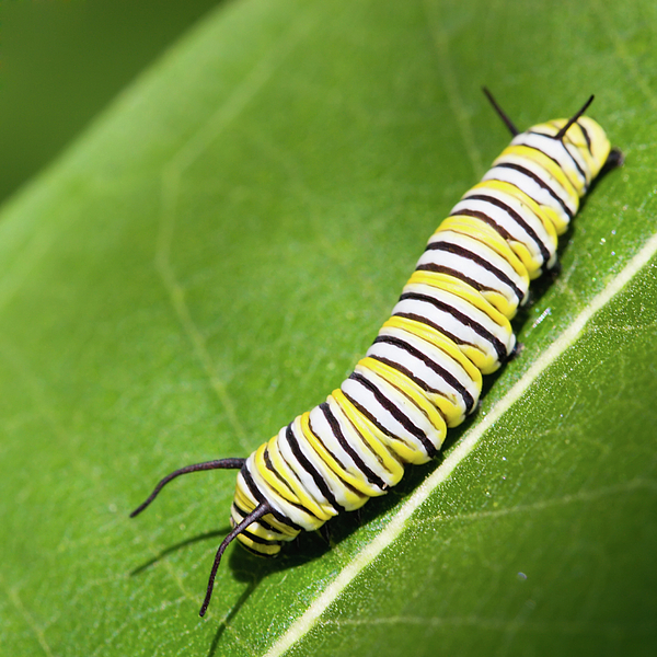 Monarch Butterfly Caterpillar Photograph by Paul Omernik