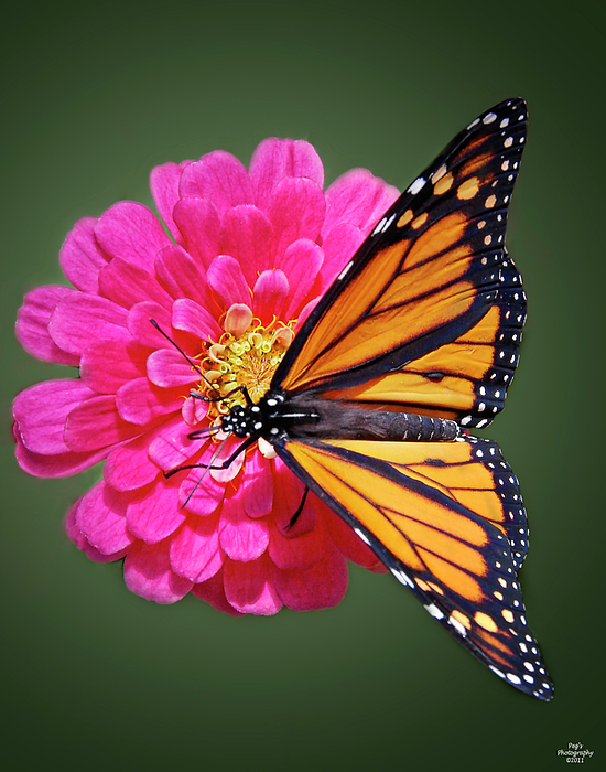 Monarch Butterfly On Pink Flower Photograph by Peg Runyan