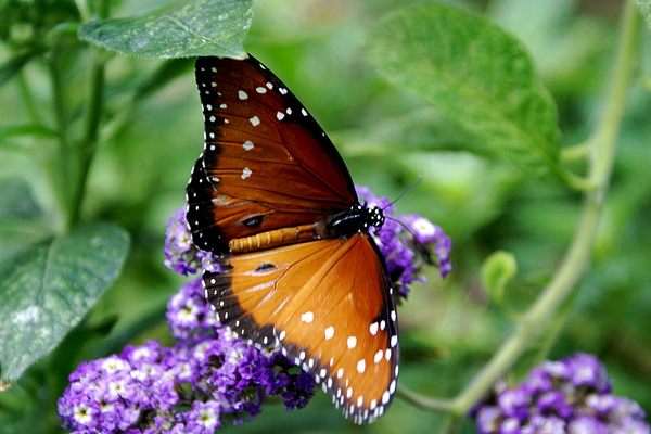 Botany Photograph - Monarch Butterfly by Sonja Anderson
