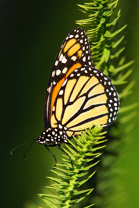 Vertical Photograph - Monarch Butterfly by The Photography Factory