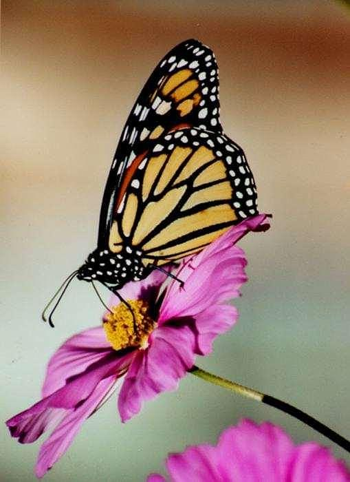 Butterfly Photograph - Monarch by Laura Murphy