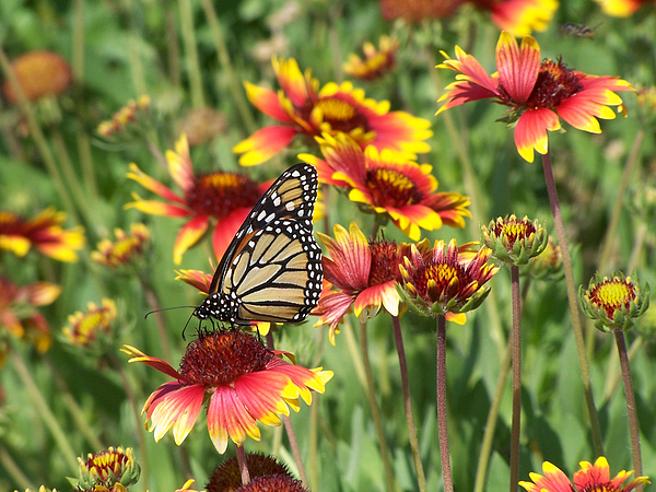 Nature Photograph - Monarch On Blanketflower by Peg Urban