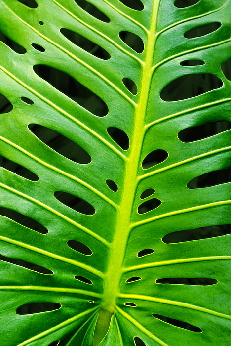 Abstract Photograph - Monstera Leaf by Carlos Caetano