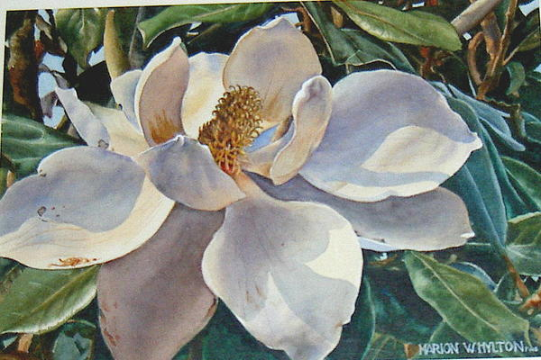 Flower Painting - Morning Magnolia by Marion  Hylton