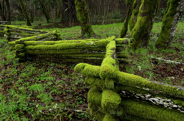 Moss Photograph - Mossy Fence 4 by Bob Christopher