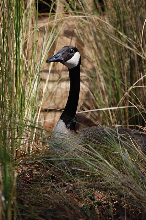 Bird Photograph - Mother Goose by Nikki Taylor