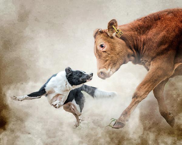 Cowdog Photograph - Motivational Skills by Ron McGinnis
