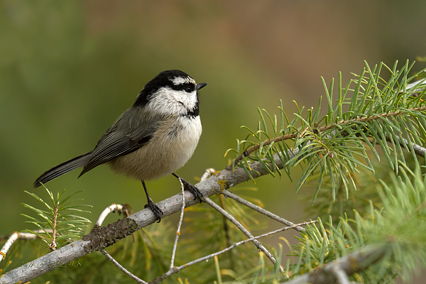 Mountain Photograph - Mountain Chickadee by Beve Brown-Clark Photography