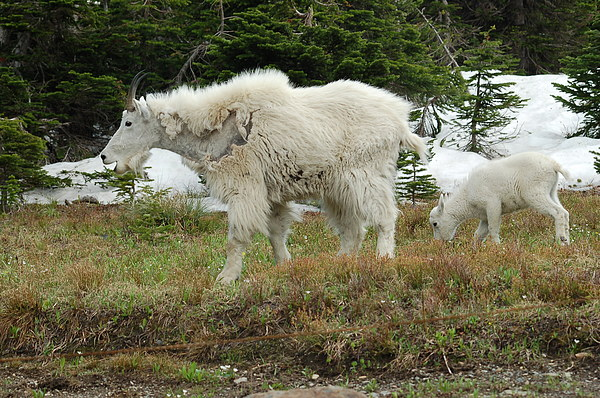 Wild Animals Photograph - Mountain Goat Mom And Baby by D Nigon