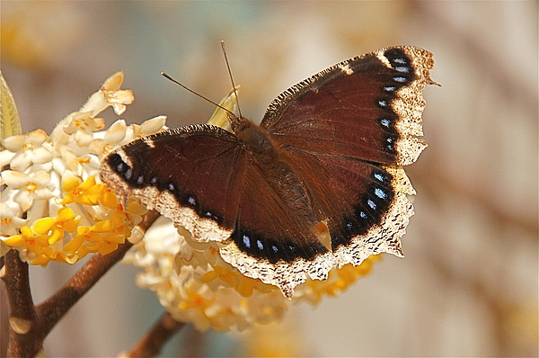 Nymphalis Antiopa Photograph - Mourning Cloak Butterfly by Byron Varvarigos