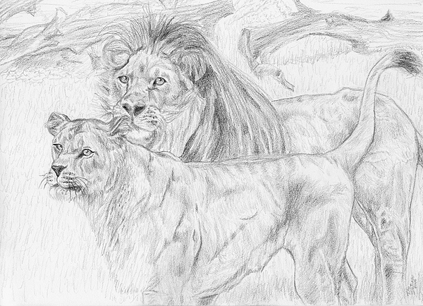 Animals Drawing - Mr. And Mrs. Lion by Tito Santiago