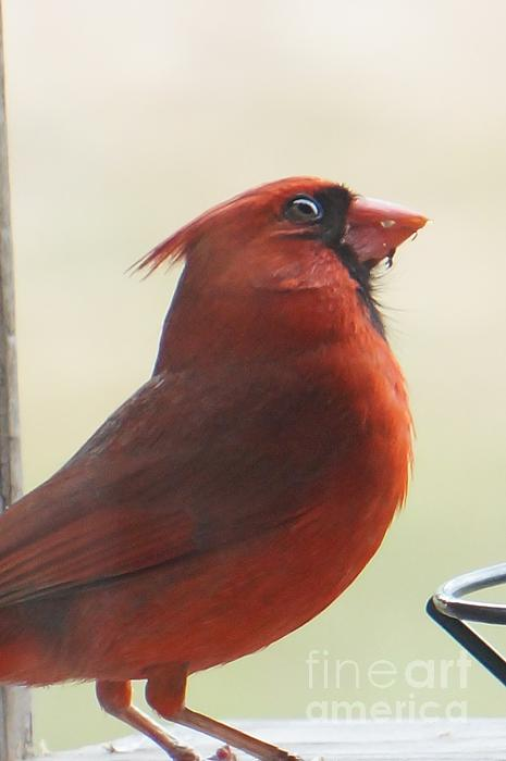 Cardinal Photograph - Mr Cardinal by Maxine Billings