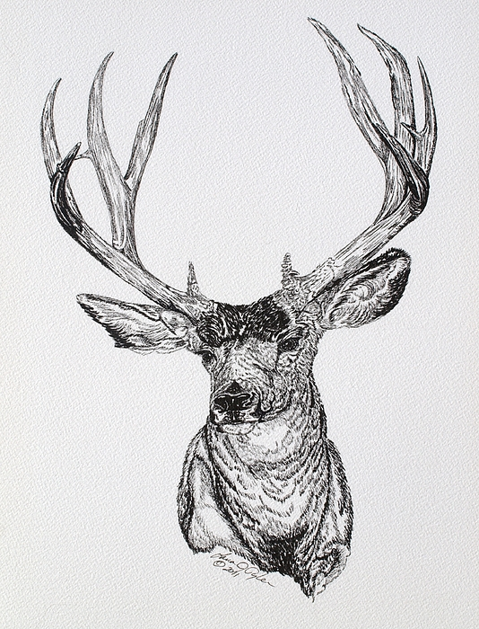Deer Contour Line Drawing : Mule deer buck drawing by lana tyler