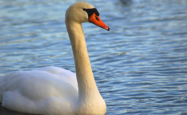 Animals Photograph - Mute Swan 3 by Mark Platt