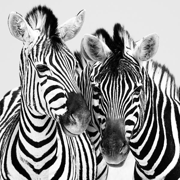 Namibia Photograph - Namibia Zebras Iv by Nina Papiorek