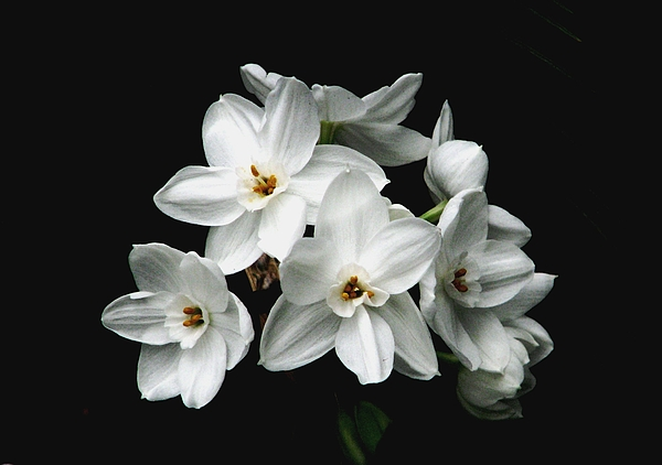 Narcissus Photograph - Narcissus The Breath Of Spring by Angela Davies