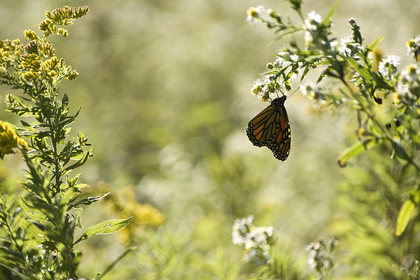 Butterfly Photograph - Natures Simplicity by Elsa Marie Santoro
