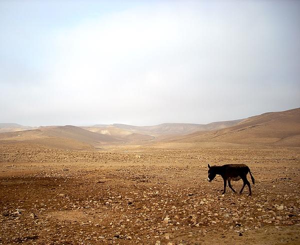 Donkey Photograph - Negev Donkey by Rachel Figueroa