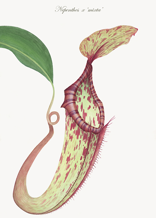 Flowers Painting - Nepenthes X mixta by Scott Bennett