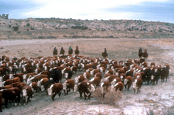 Cows Photograph - New Mexico Cattle Drive by Jerry McElroy