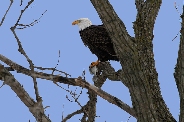 Eagle Photograph - Nice Catch by Dave Clark
