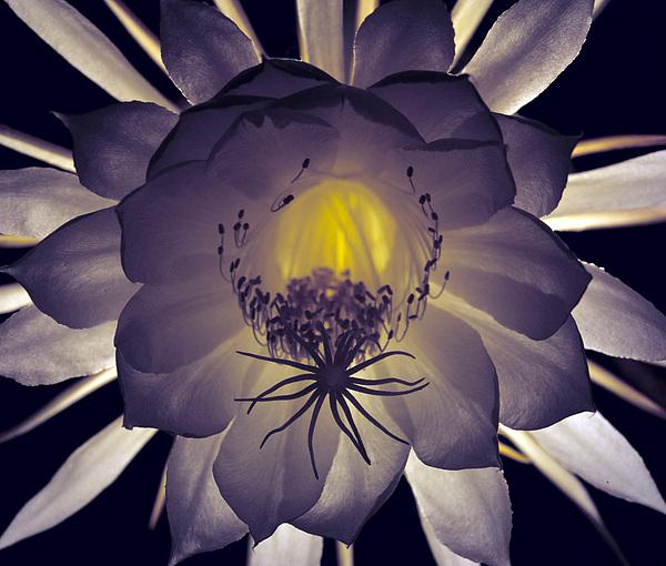 Night Blooming Cereus Photograph - Night Angel by Kurt Shaffer