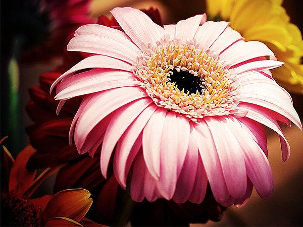 Gerber Daisy Photograph - No Title by Carlise Azmitia