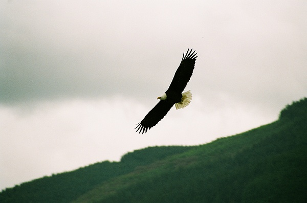 Nooksack Eagle Photograph by Brent Easley