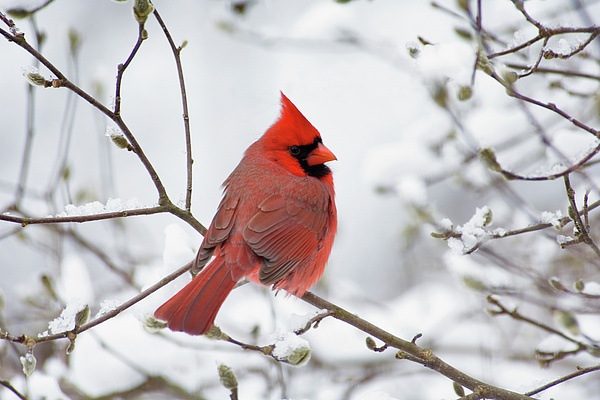 Male Photograph - Northern Cardinal - D001540 by Daniel Dempster