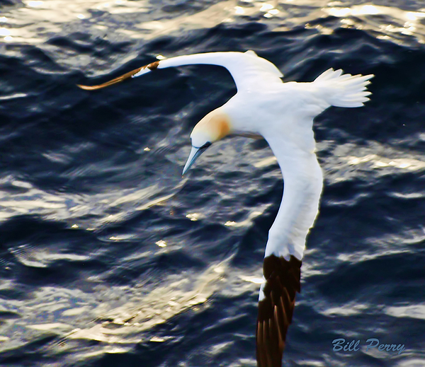 Waterfowl Photograph - Northern Gannet Looking For A Meal Offshore by Bill Perry