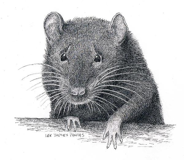 Rat Drawing - Norway Rat by Lee Pantas