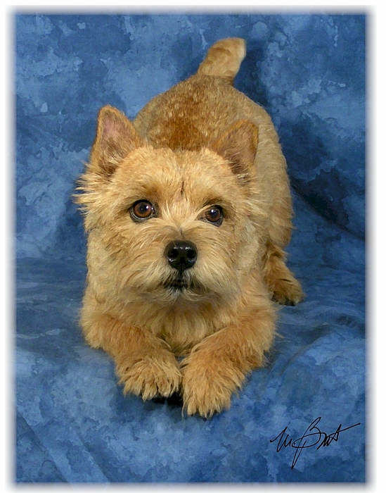 Norwich Digital Art - Norwich Terrier Pup by Maxine Bochnia