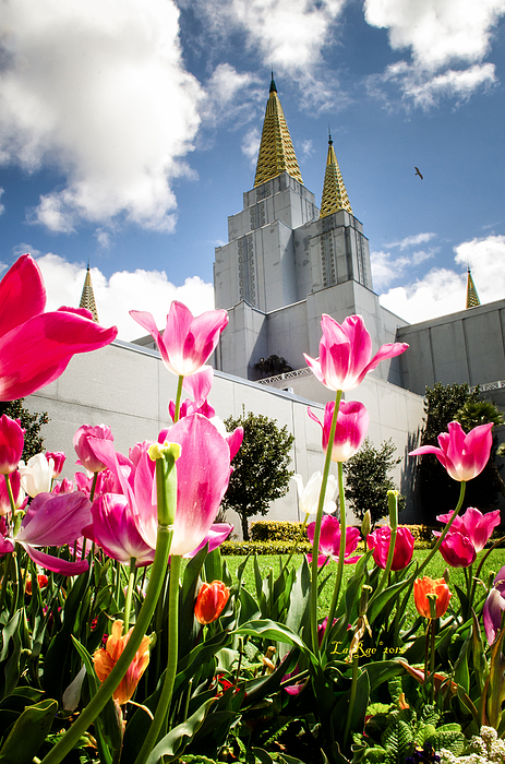 Lds Temple Photography Photograph - Oakland Pink Tulips by La Rae  Roberts