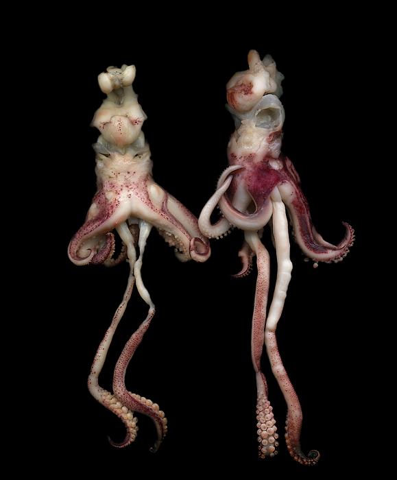Vertical Photograph - Octopus by Photograph by Magda Indigo