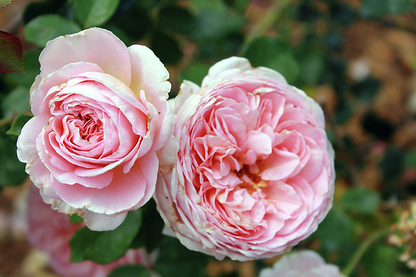 Flowers Photograph - Old Fashioned Rose by Mary Haber