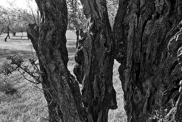 Olive Photograph - Olive Tree by Dan Andersson