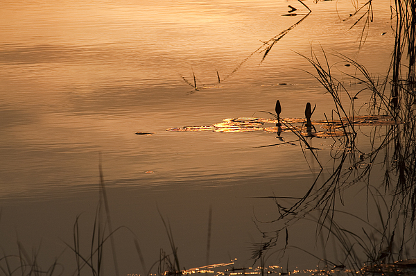 Africa Photograph - On Golden Pond by Olwen Evans