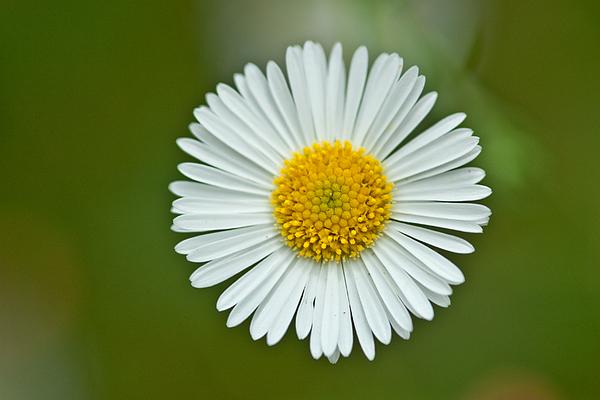 Flower Photograph - One Daisy by Svetlana Ledneva-Schukina