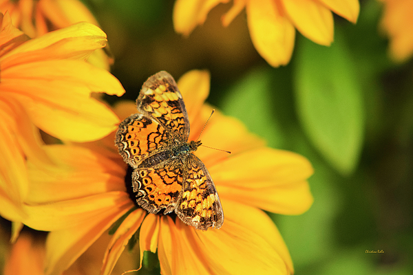 Orange Photograph - Orange Crescent Butterfly by Christina Rollo