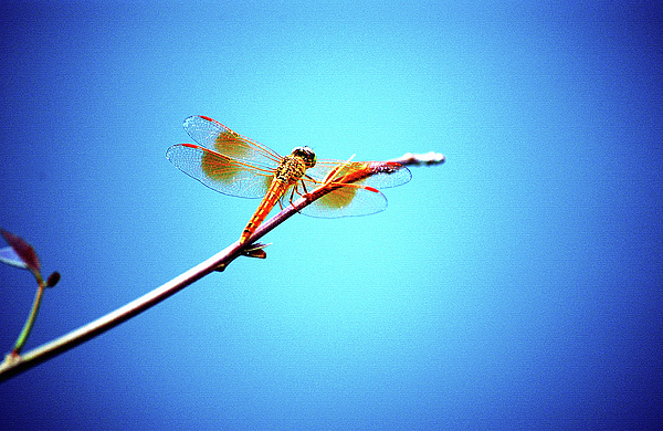 Orange Photograph - Orange Dragonfly by Farah Faizal