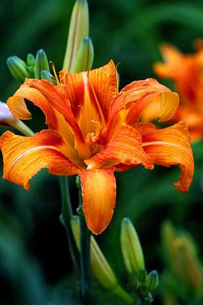 Lily Photograph - Orange Lily by Deborah  DeAmroim