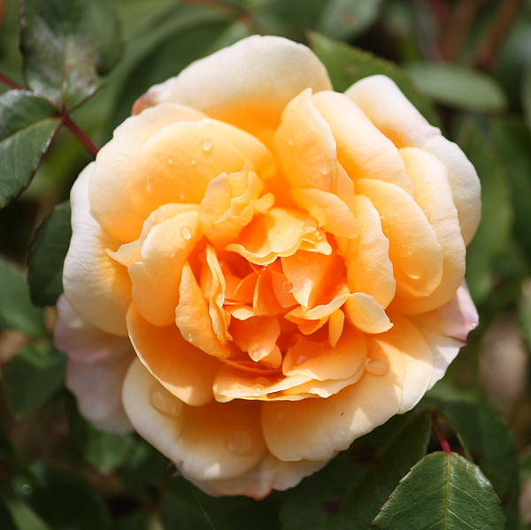 Orange Rose Photograph - Orange Rose Square by Carol Groenen