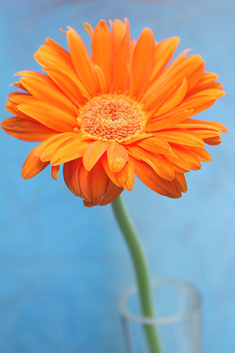 Vertical Photograph - Orange Slanted Gerbera by Photography by Gordana Adamovic Mladenovic