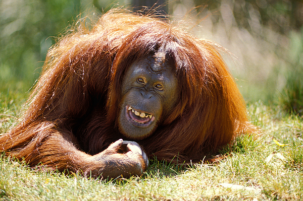 Animal Photograph - Orangutan In The Grass by Garry Gay