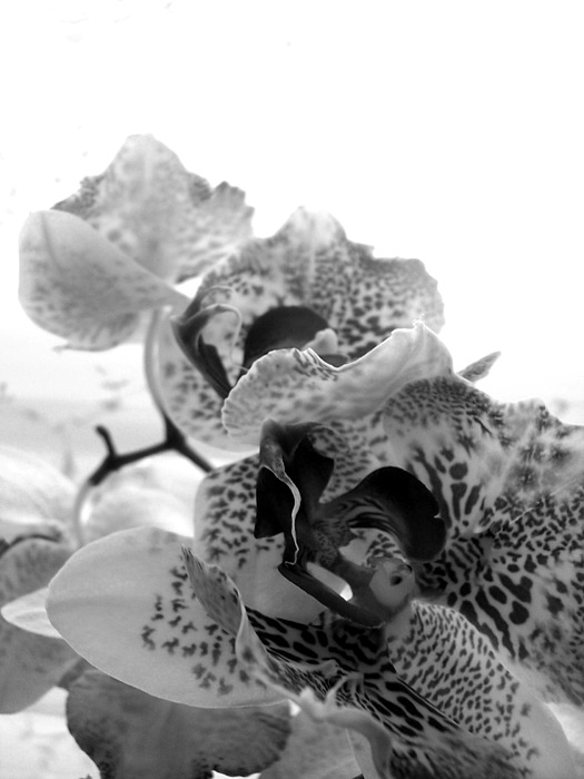 Orchid 2 Photograph by Theresa Vreeland