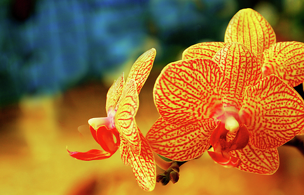 Orchid Photograph - Orchid 9 by Chaza Abou El Khair