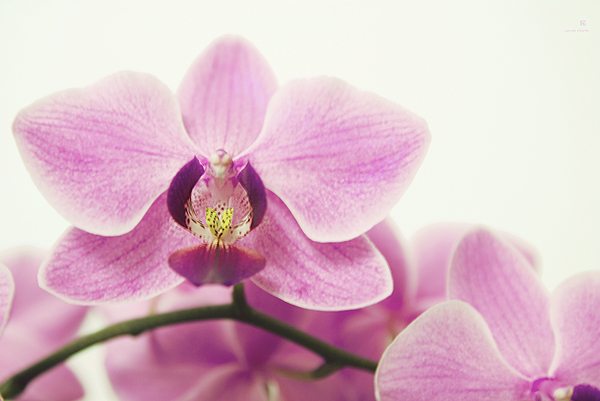 Orchid Photograph - orchid III by Hannes Cmarits