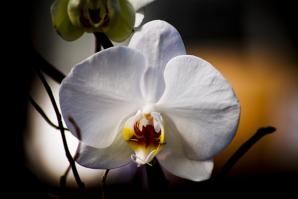 Floral Photograph - Orchid by John Ater