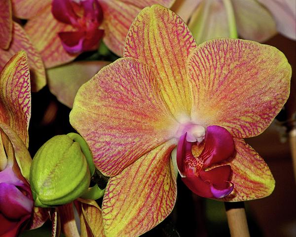 Orchid Photograph - Orchid by Lynda Lehmann