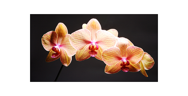 Product Photograph - Orchid by Nicole Goodness